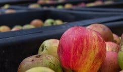 Se necesitan 55 operarios para envasado de fruta en finca agrícola 11